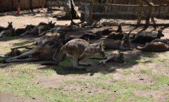 La comida frita puede experimentar los canguros y wallabies! Bonorongu Refugio de Vida Silvestre - Parte -