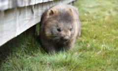 Encounter on the way back of the Cradle Mountain! Playing with wild wombat